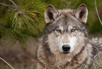 Зороастрийский знак зодиака Волк