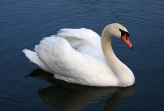 Зороастрийский знак зодиака Лебедь
