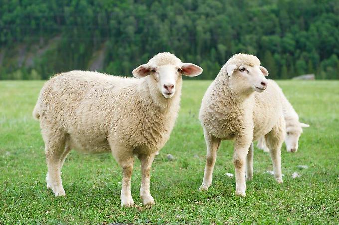 Накшатра Овца