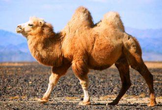 Зороастрийский знак зодиака Верблюд