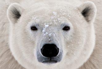 Зороастрийский знак зодиака Белый Медведь