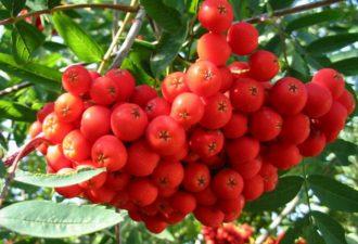 Растение Рябина