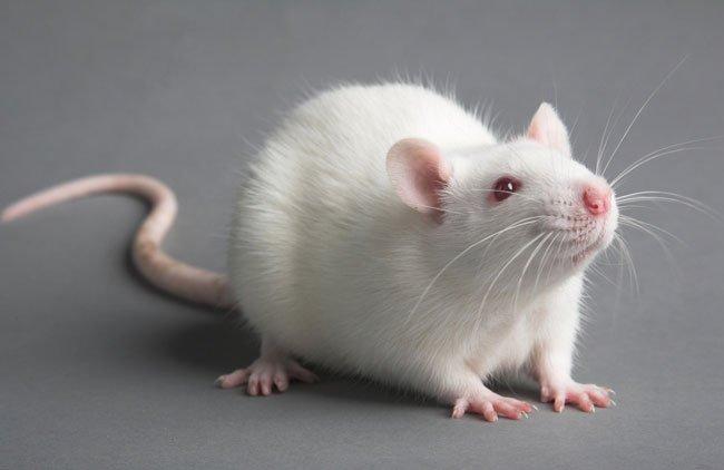 накшатра Крыс