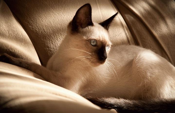 накшатра кошка