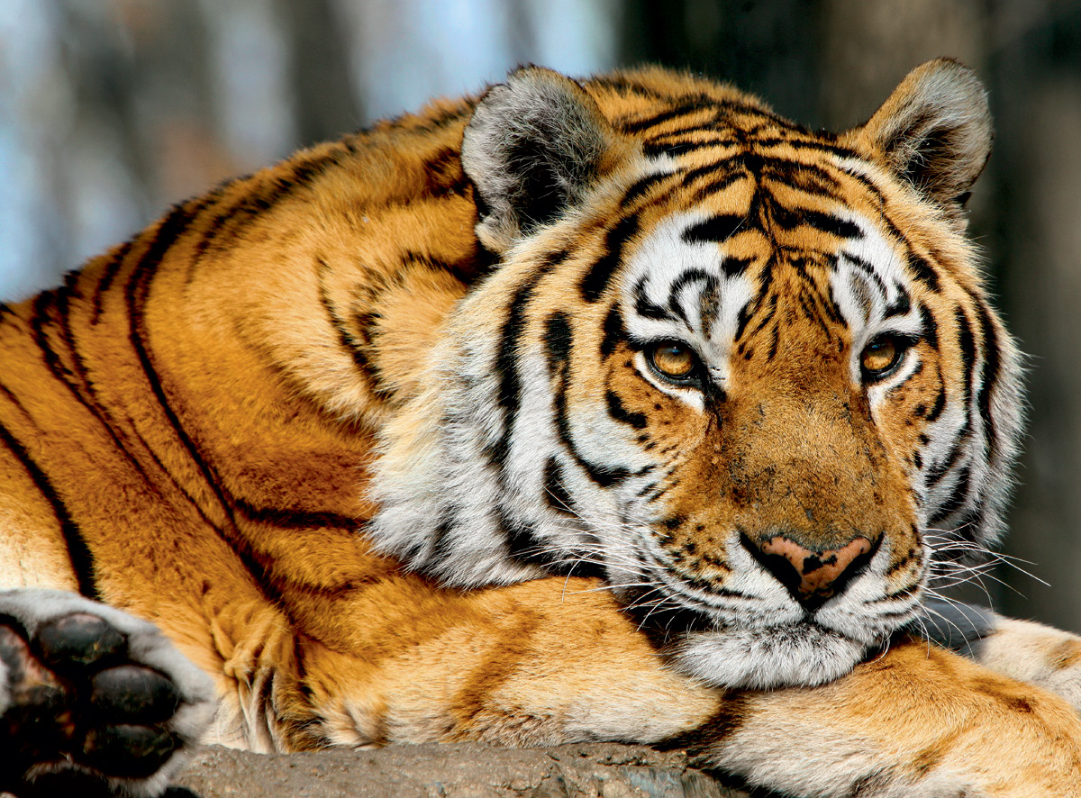 Деревянный Тигр