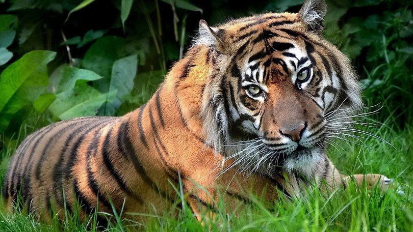 Накшатра Тигр