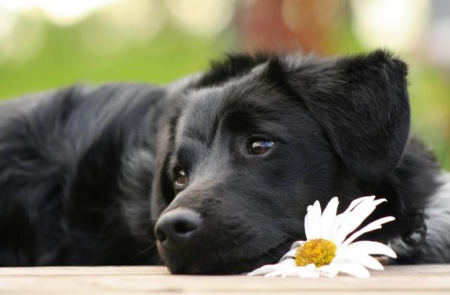 накшатра Пёс