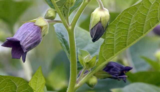 растение белладонна